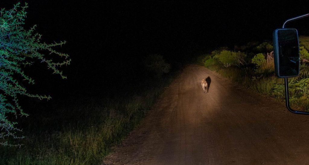 hiena no meio de estrada de terra de noite - perigoso safari