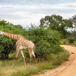 É perigoso fazer safári no Kruger Park?