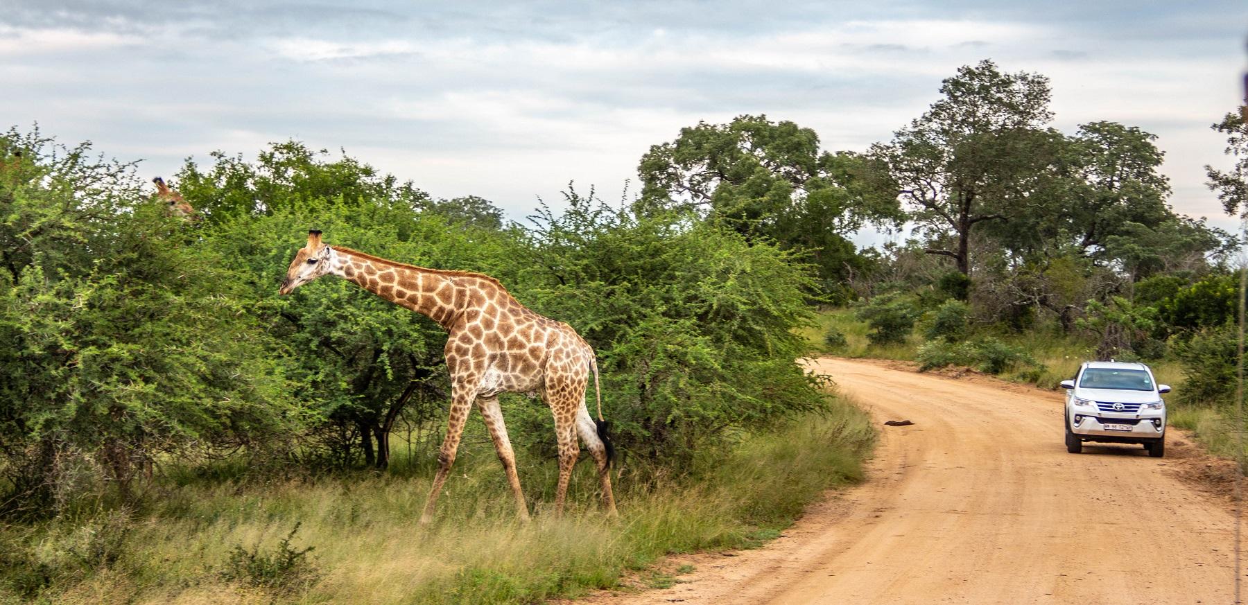 perigoso safari